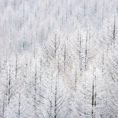 Thickly wooded with white trees wallpaper