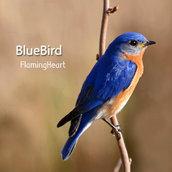 [Hi-Fi] Bluebird(Looking for Bliss..)Ver. M-Blue